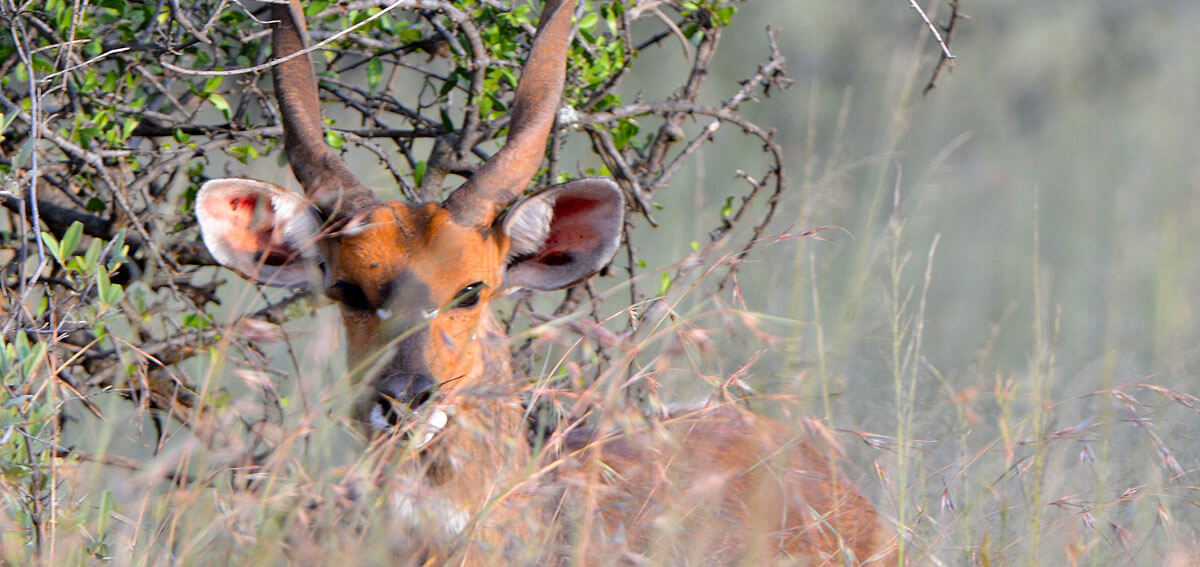 breeding bushbuck1