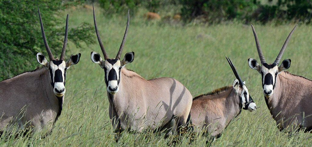 common oryx
