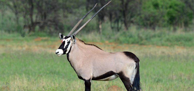 breeding common oryx3