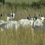 breeding white springbuck1