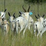 breeding white springbuck3