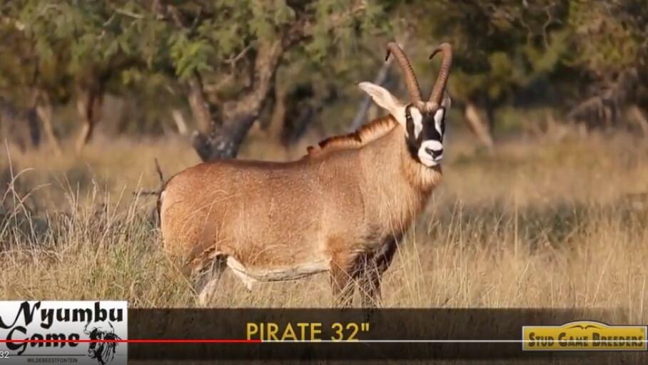 Announcement: Pirate roan breeding bull