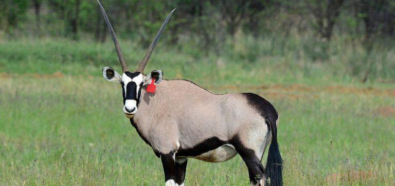 breeding common oryx