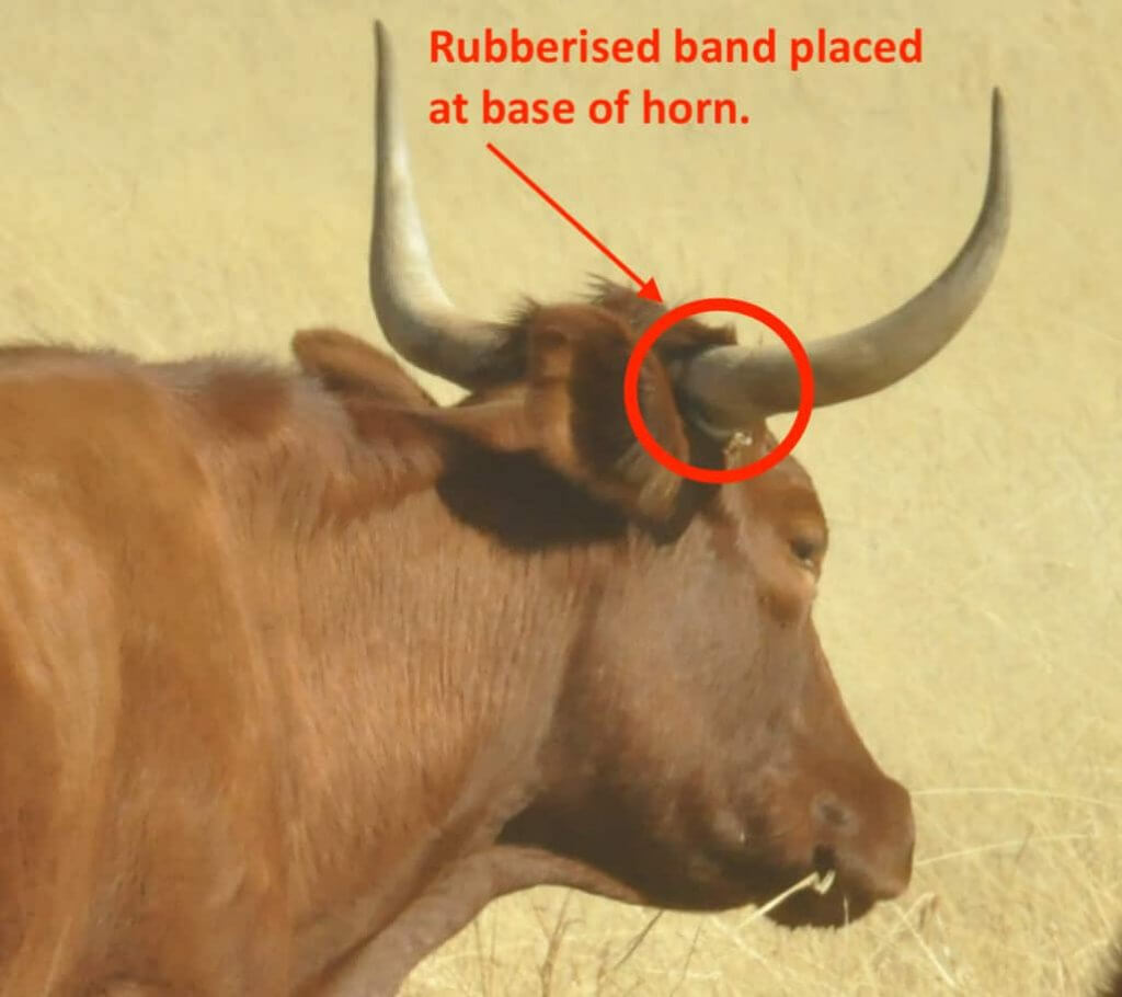Rubberised horn at base of horn 1